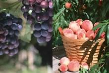くだもの栽培が盛んなフルーツ王国山梨で、フルーツ狩り
